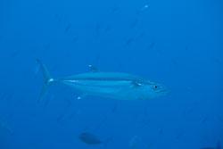 BD-150421-Maldives-7482-Gymnosarda-unicolor-(Rüppell.-1836)-[Dogtooth-tuna.-Indopacifisk-bonito].jpg